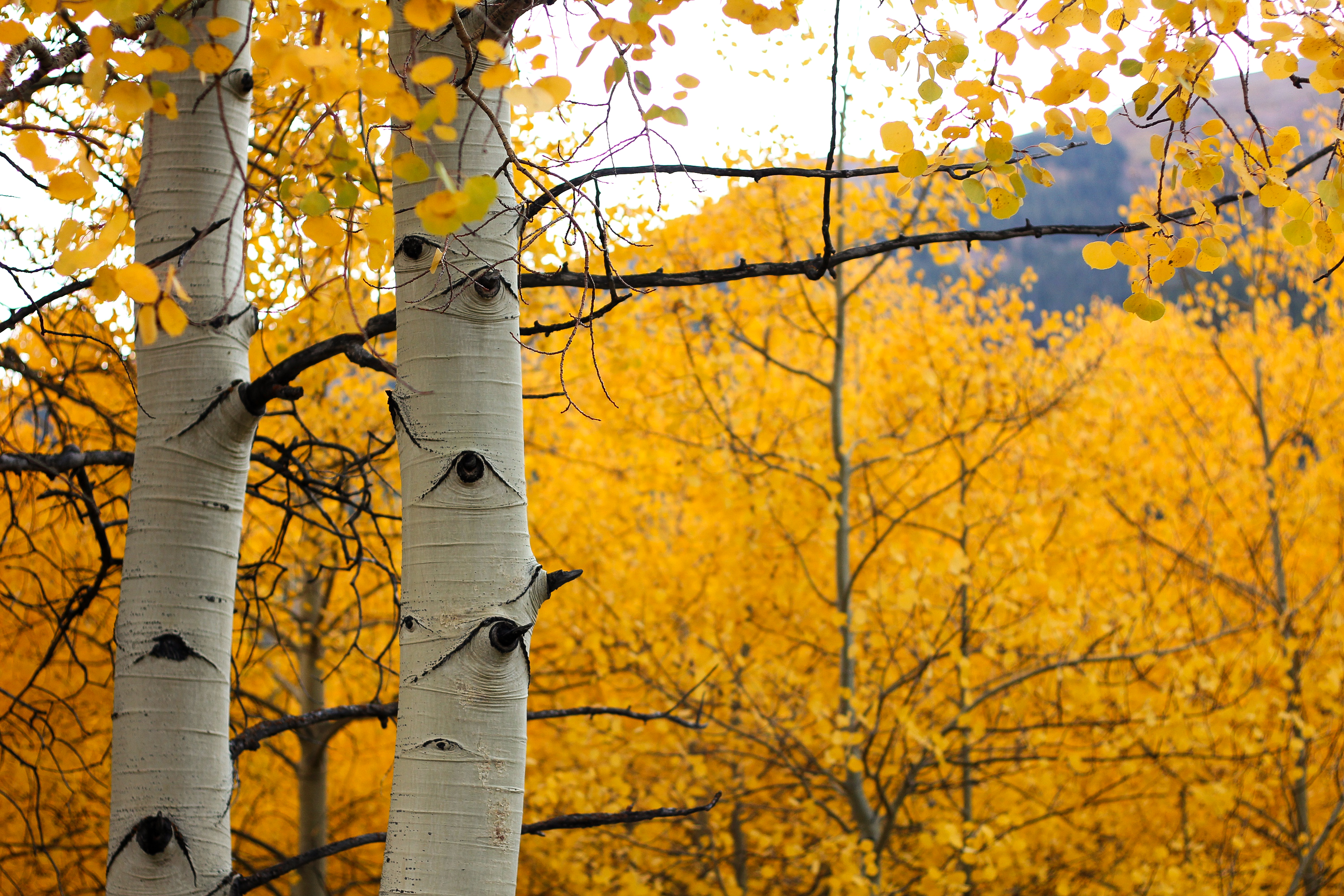 Colorado aspen aspen trees beauty nature outdoors fall
